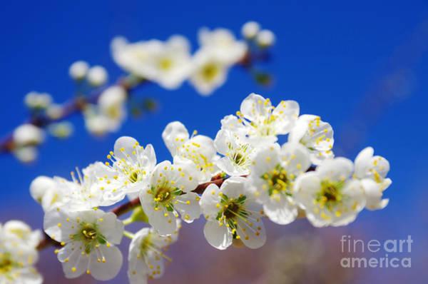 Almond Blossom Art Print