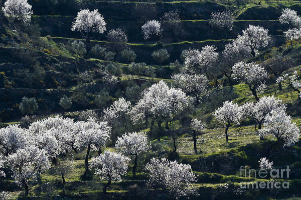 Photograph - Almond Blossom In Andalusia by Heiko Koehrer-Wagner