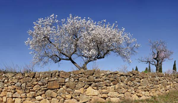 Almond Blossom Near The Town Art Print