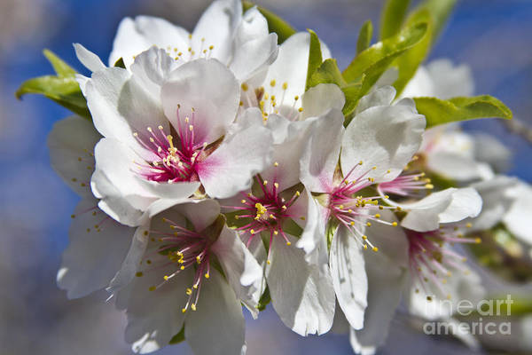 Photograph - Almond Blossoms by Heiko Koehrer-Wagner