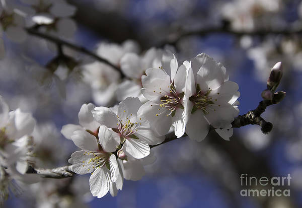 Photograph - Almond Blossoms by Kathleen Gauthier