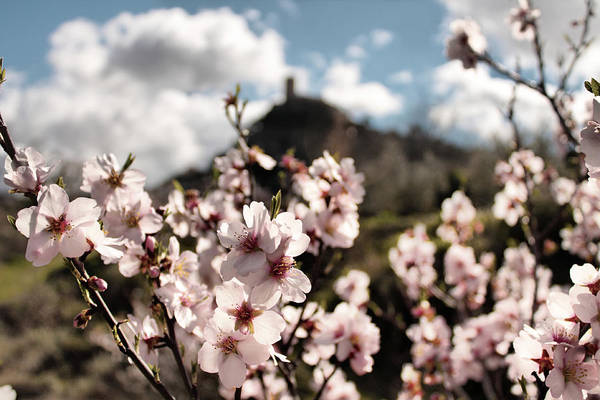 Photograph - Almond Blossoms by Pedro Fernandez