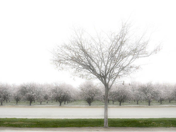 Orchard Photograph - Almond Orchard by Carol Leigh