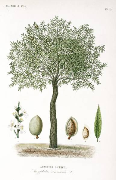 Vegetal Photograph - Almond Tree, 19th Century by Science Photo Library