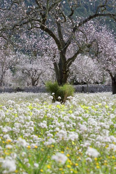 Almond Tree In Blossom, Near Randa Art Print