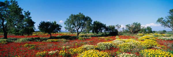 Almond Trees In A Field, Poppy Meadow Art Print