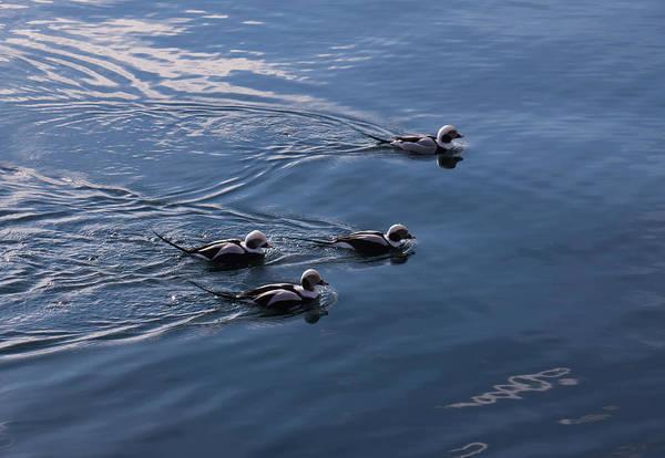 Photograph - Almost Synchronized Swimming  by Georgia Mizuleva