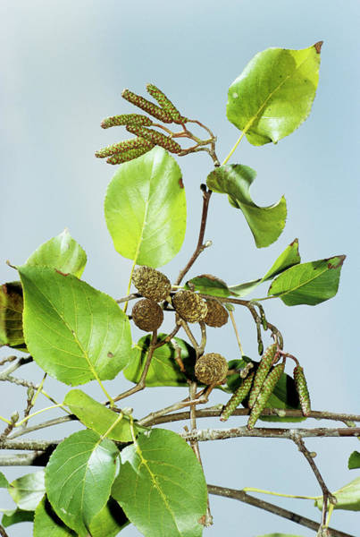 Alder Photograph - Alnus Cordata Catkins And Cones by M F Merlet/science Photo Library