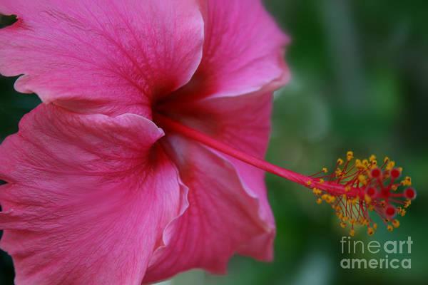 Flowering Trees Digital Art - Aloha Aloalo Ulu Wehi Pink Tropical Hibiscus Wilipohaku Hawaii by Sharon Mau