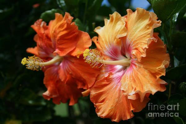 Photograph - Aloha Keanae Tropical Hibiscus by Sharon Mau