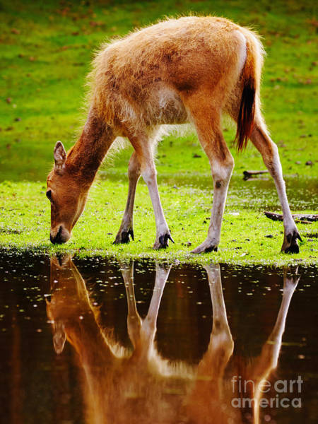 Photograph - Along The Water Grazing Pere David's Deer by Nick  Biemans
