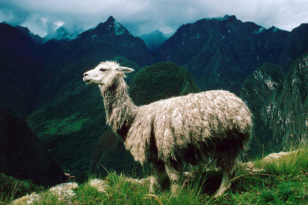 Wall Art - Photograph - Alpaca, Andes, Peru by George Holton
