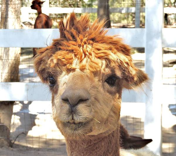 Photograph - Alpaca Bed Head by Helen Carson