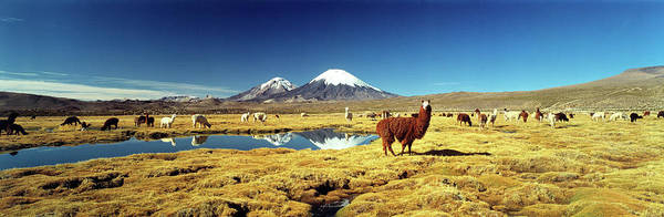 Arica Photograph - Alpaca Lama Pacos And Llama Lama Glama by Animal Images