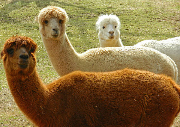 Petting Zoo Photograph - Alpaca Trio by Emmy Vickers