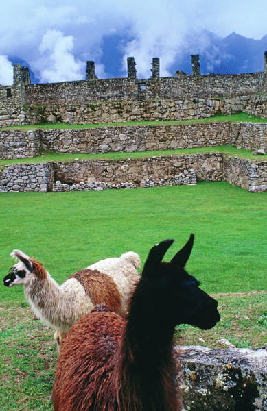 Grazing Photograph - Alpacas Grazing In Central Plaza Of by Jeffrey Becom