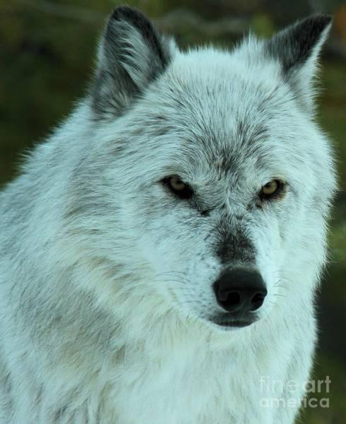 Alpha Wolf Wall Art - Photograph - Alpha Gaze by Adam Jewell