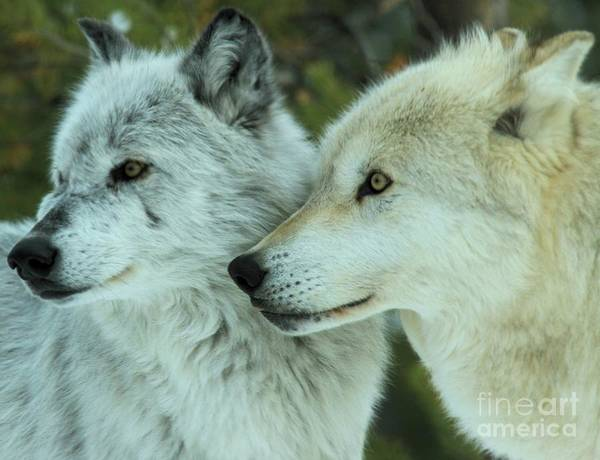 Alpha Wolf Wall Art - Photograph - Alpha Girl And Beta by Adam Jewell