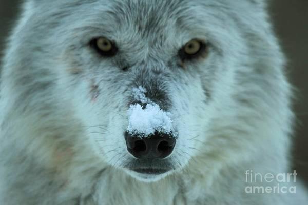 Alpha Wolf Wall Art - Photograph - Alpha Intensity by Adam Jewell
