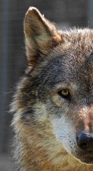 Alpha Wolf Wall Art - Photograph - Alpha Male Wolf - Don't Mess With Me by Gill Billington