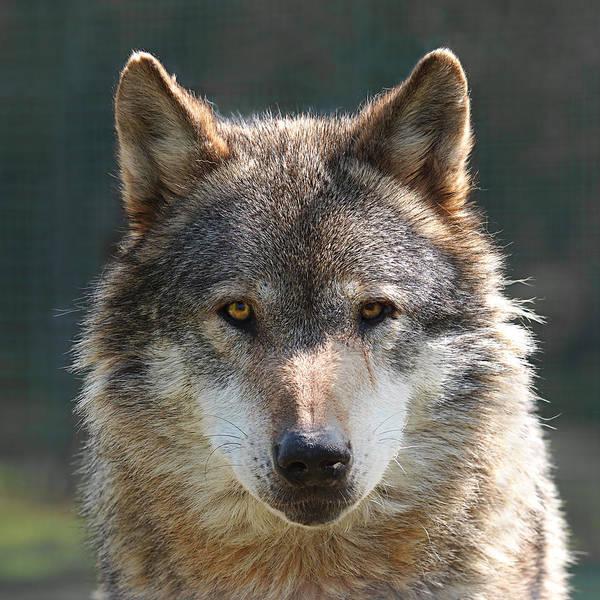 Alpha Wolf Wall Art - Photograph - Alpha Male Wolf - I'm Watching You by Gill Billington