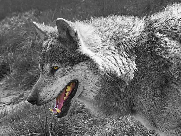 Alpha Wolf Wall Art - Photograph - Alpha Male Wolf - You Look Tasty 2 by Gill Billington