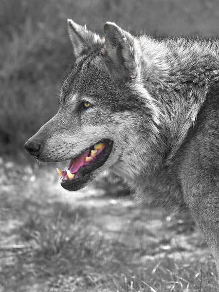 Timberwolves Photograph - Alpha Male Wolf - You Look Tasty by Gill Billington