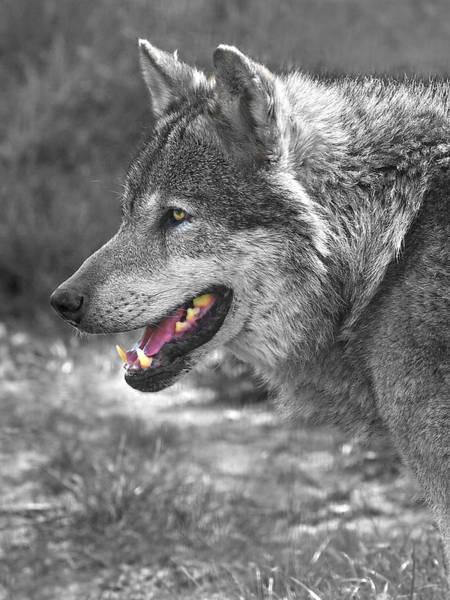 Alpha Wolf Wall Art - Photograph - Alpha Male Wolf - You Look Tasty by Gill Billington