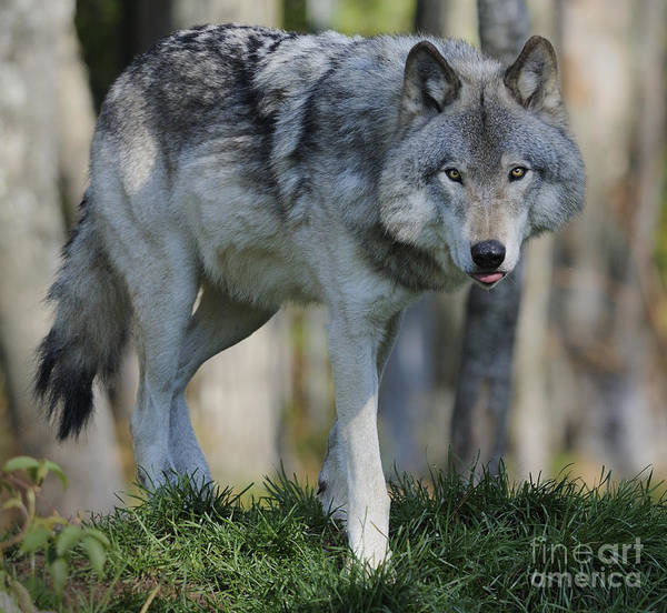 Timber Wolves Photograph - Alpha... by Nina Stavlund
