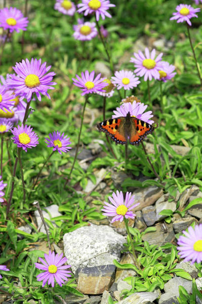 Tortoiseshell Photograph - Alpine Asters (aster Alpinus) by Brian Gadsby/science Photo Library