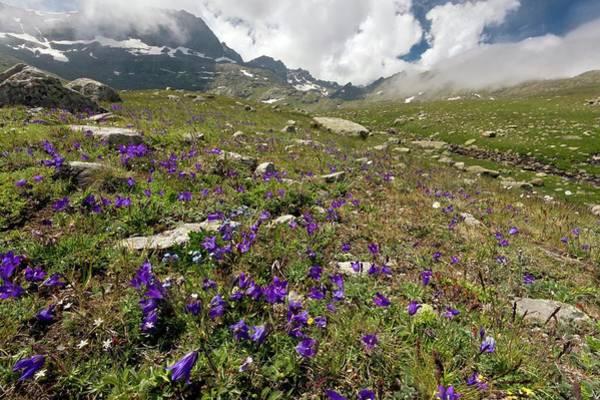 Alpine Meadows Photograph - Alpine Bellflowers (campanula Tridentata) by Bob Gibbons