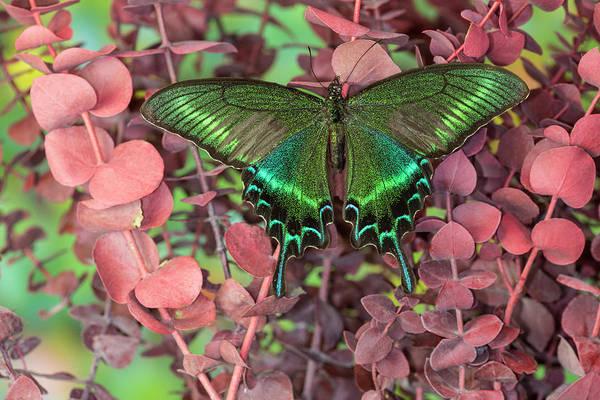 Alpine Black Swallowtail Butterfly Art Print by Darrell Gulin