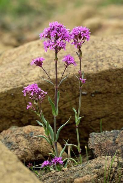 Gros Morne Photograph - Alpine Catchfly (silene Suecica) by Bob Gibbons/science Photo Library