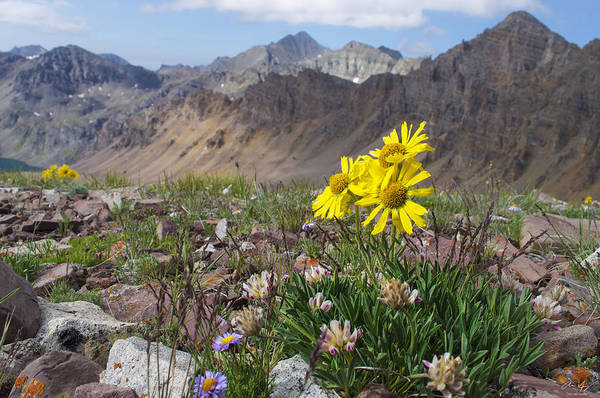 Electric Peak Wall Art - Photograph - Alpine Flowers by Aaron Spong