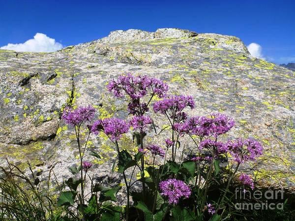 Alpine Flowers Art Print