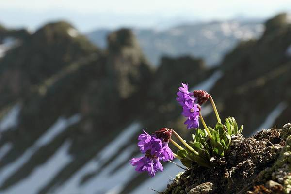 Central Europe Wall Art - Photograph - Alpine Flowers by Martin Rietze