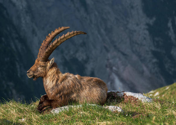 Wall Art - Photograph - Alpine Ibex by Ales Krivec
