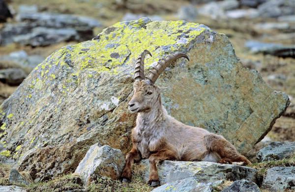 Ibex Wall Art - Photograph - Alpine Ibex (capra Ibex by Martin Zwick