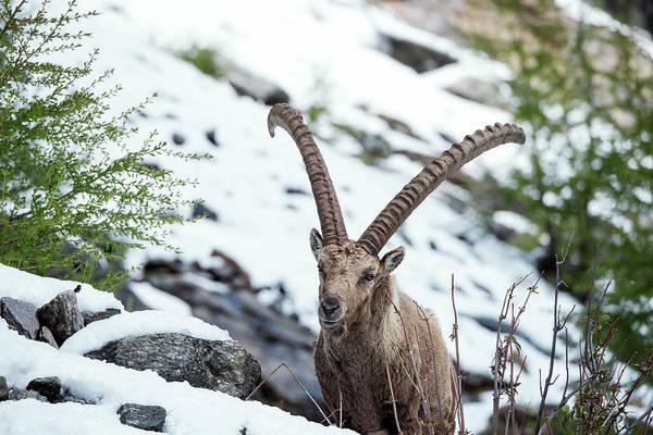 Ibex Wall Art - Photograph - Alpine Ibex by Dr P. Marazzi