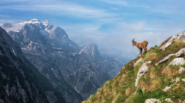 Mounted Photograph - Alpine Ibex In The Mountains by Ales Krivec