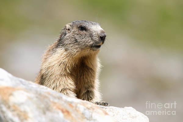 Marmot Photograph - Alpine Marmot by Frank Derer