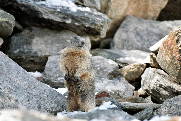 Marmot Photograph - Alpine Marmot Standing Guard by Dr P. Marazzi