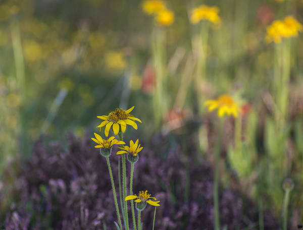 Photograph - Alpine Meadow by Loree Johnson