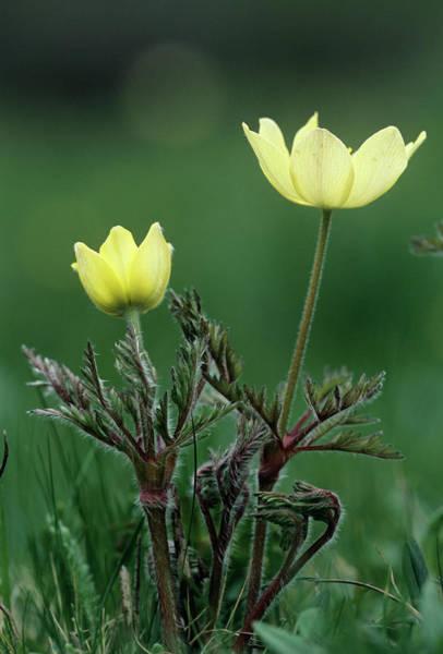 Wall Art - Photograph - Alpine Pasque Flowers (pulsatilla Alpina) by Bob Gibbons/science Photo Library