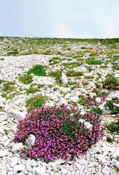 Thyme Photograph - Alpine Rock Thyme (acinos Alpinus) by Bruno Petriglia/science Photo Library