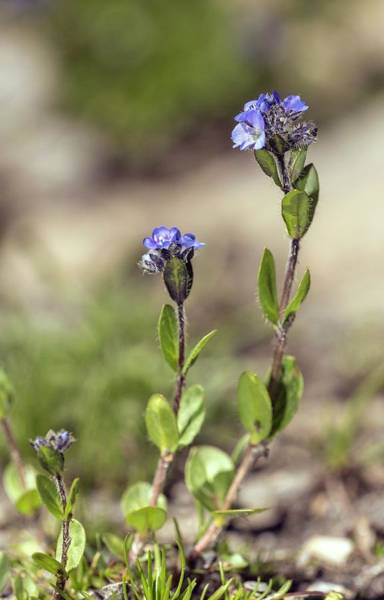 Veronica Photograph - Alpine Speedwell (veronica Alpina) In Flower by Bob Gibbons/science Photo Library