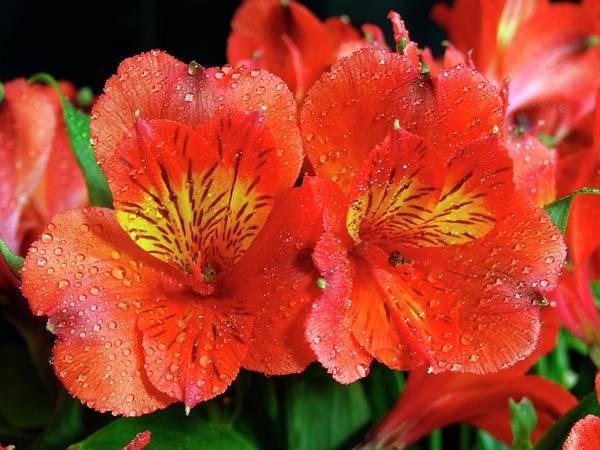 Alstroemeria Photograph - Alstroemeria Aurea 'orange King' by Ian Gowland/science Photo Library