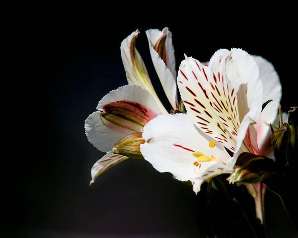 Photograph - Alstroemeria Casablanca by Steve Kaye