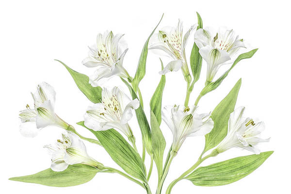 Wall Art - Photograph - Alstroemeria by Mandy Disher