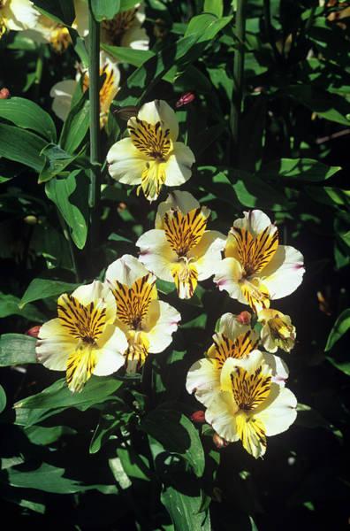 Alstroemeria Photograph - Alstroemeria 'sovereign' by Tony Wood/science Photo Library